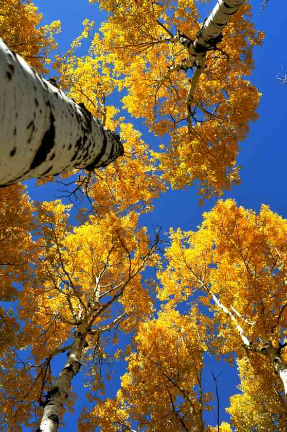 Flagstaff Arizona Aspen