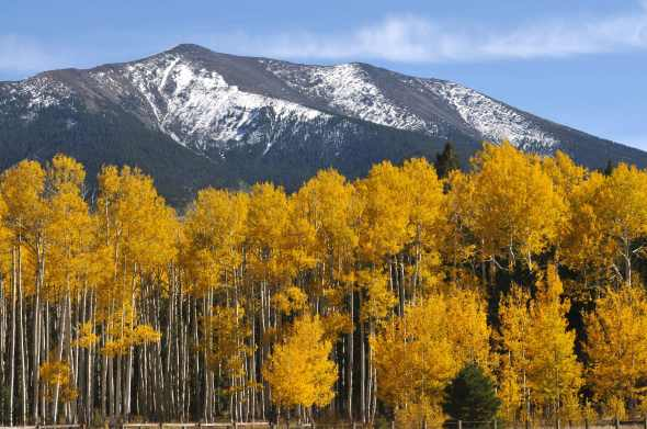 Beautiful golden Aspens in front of the snow kissed San Franciscan Peaks.