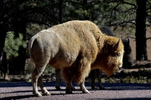 ARIZONA'S BEARIZONA HAS WHITE BUFFALO