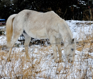 Grazing in Snow