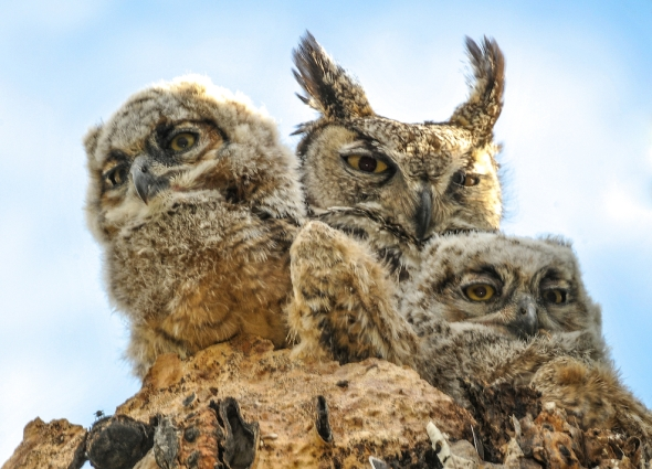BABY HORNED OWLS