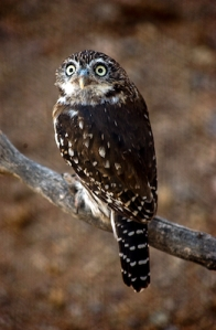 PYGMY OWL-134