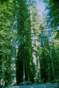 THE REDWOODS-