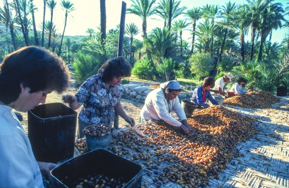 When the Jesuits arrived in Baja they planted the date palms which still provide a crop today for the folks living in San Ignacio Baja.