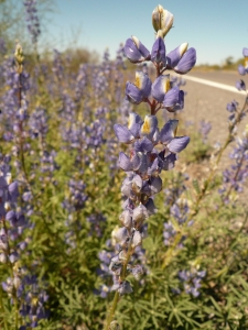 BEST CROP OF LUPINE IS FOUND ALONG THE PINAL PARKWAY TOWARD FLORENCE