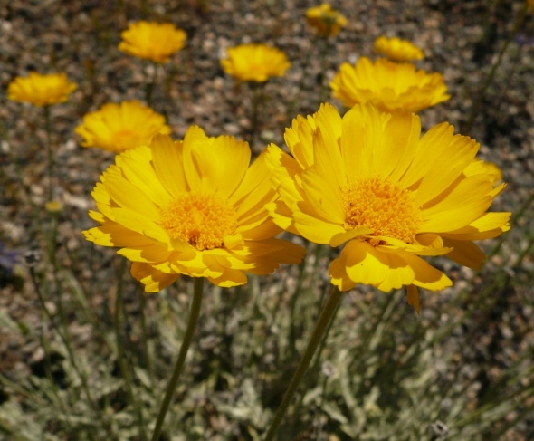 MORE VARIETY SEEN ALONG THE PINAL PARKWAY THAN ANY OTHER SPOT IN SOUTHERN AZ