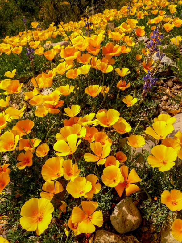 HAPPY POPPIES JUST POPPING UP ALL OVER THE HILLS SURROUNDING THE SAN PEDRO RIVER