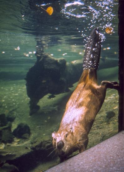 Beaver-ARIZONA-SONORA DESERT MUSEUM-