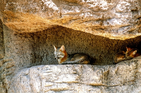KIT FOXS-ARIZONA-SONORA DESERT MUSEUM-