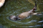 Otter Eating 115sharppp
