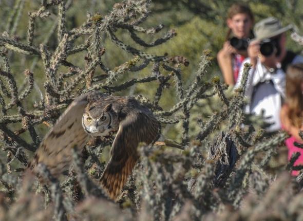 OWL TUCSON AZ-SON DESERTMUSUM-8463