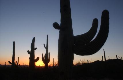 Saguaro090***