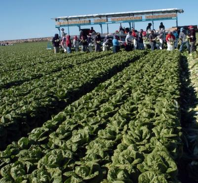 lettuce279